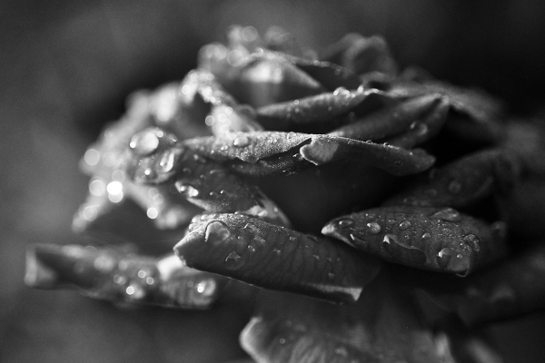 Black and White macro photo of Rose petals by William Martin of wim-designs