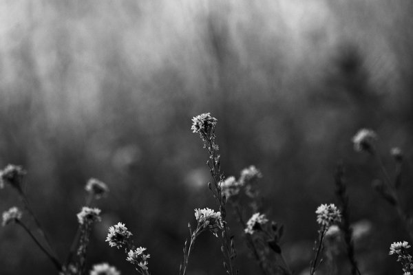 Black and White photo of wild flower by wim-designs